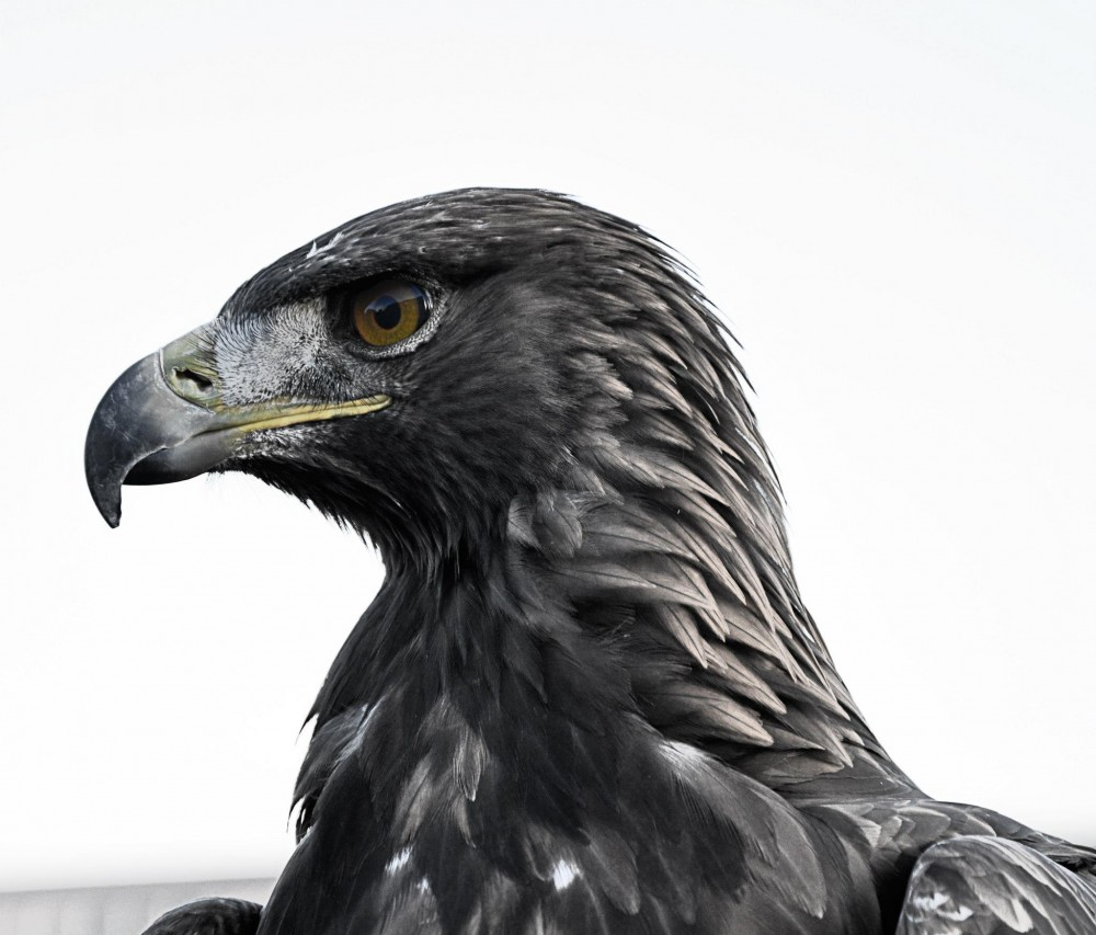 Adler - Fotografie - DerMatz.de