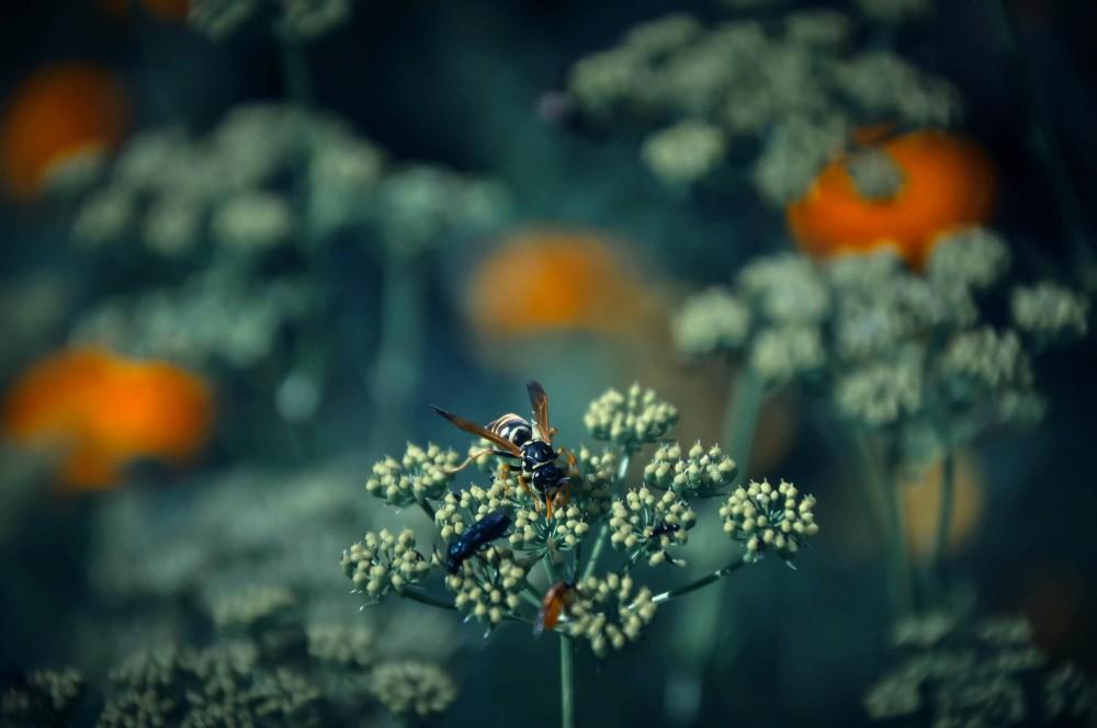 Biene auf Blüten - Fotografie - DerMatz.de