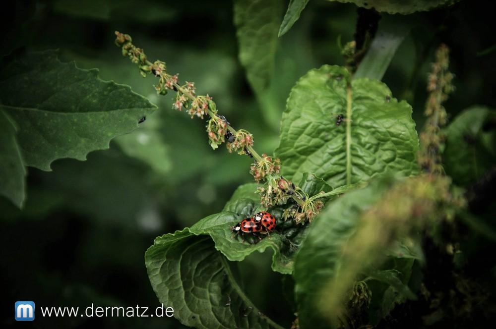 Marienkäfer - Ladybugs