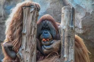 leipzig-zoo-affe