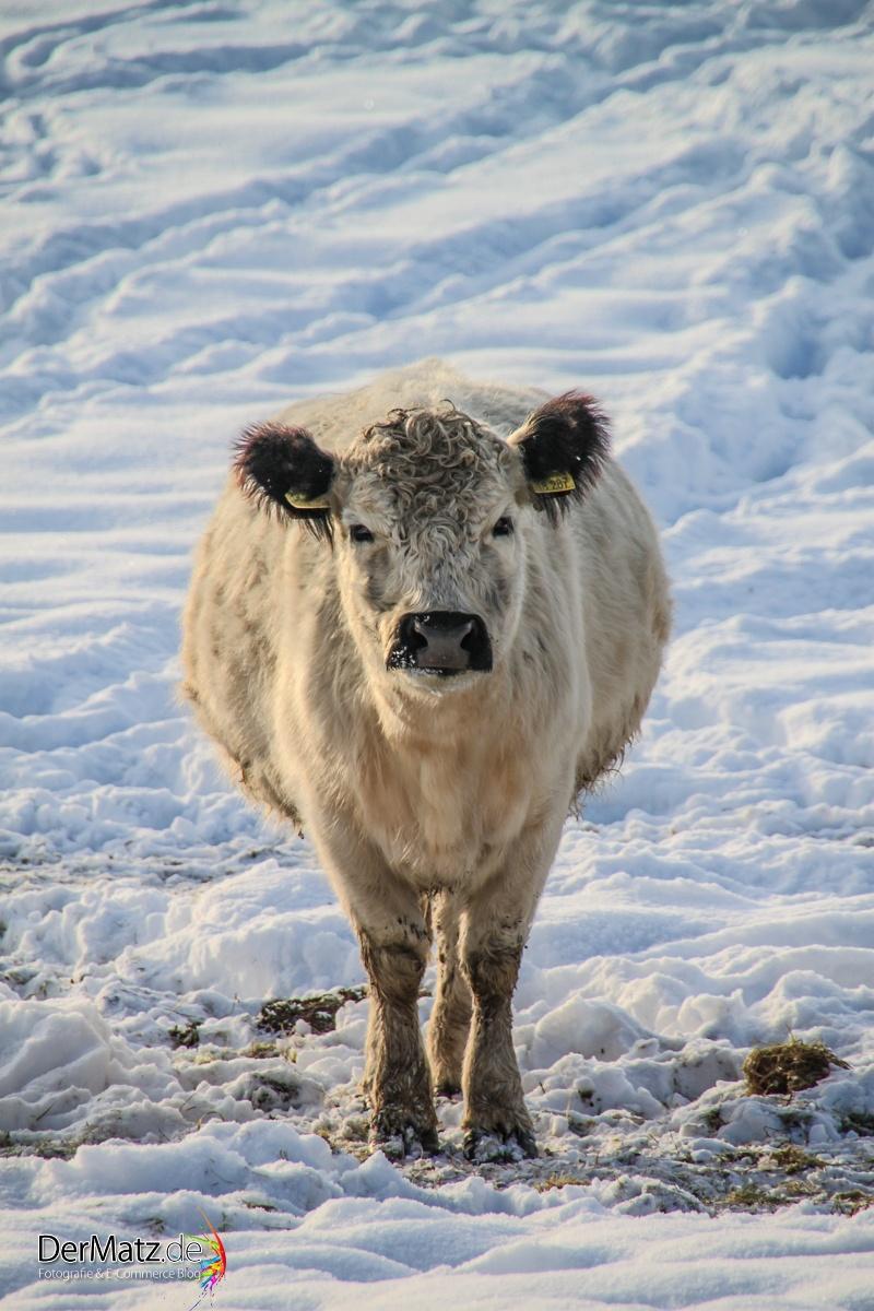 Galloway Rind im Winter
