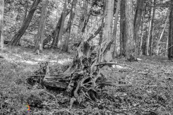 Schwarzweißbild einer alten Eichen-Wurzel