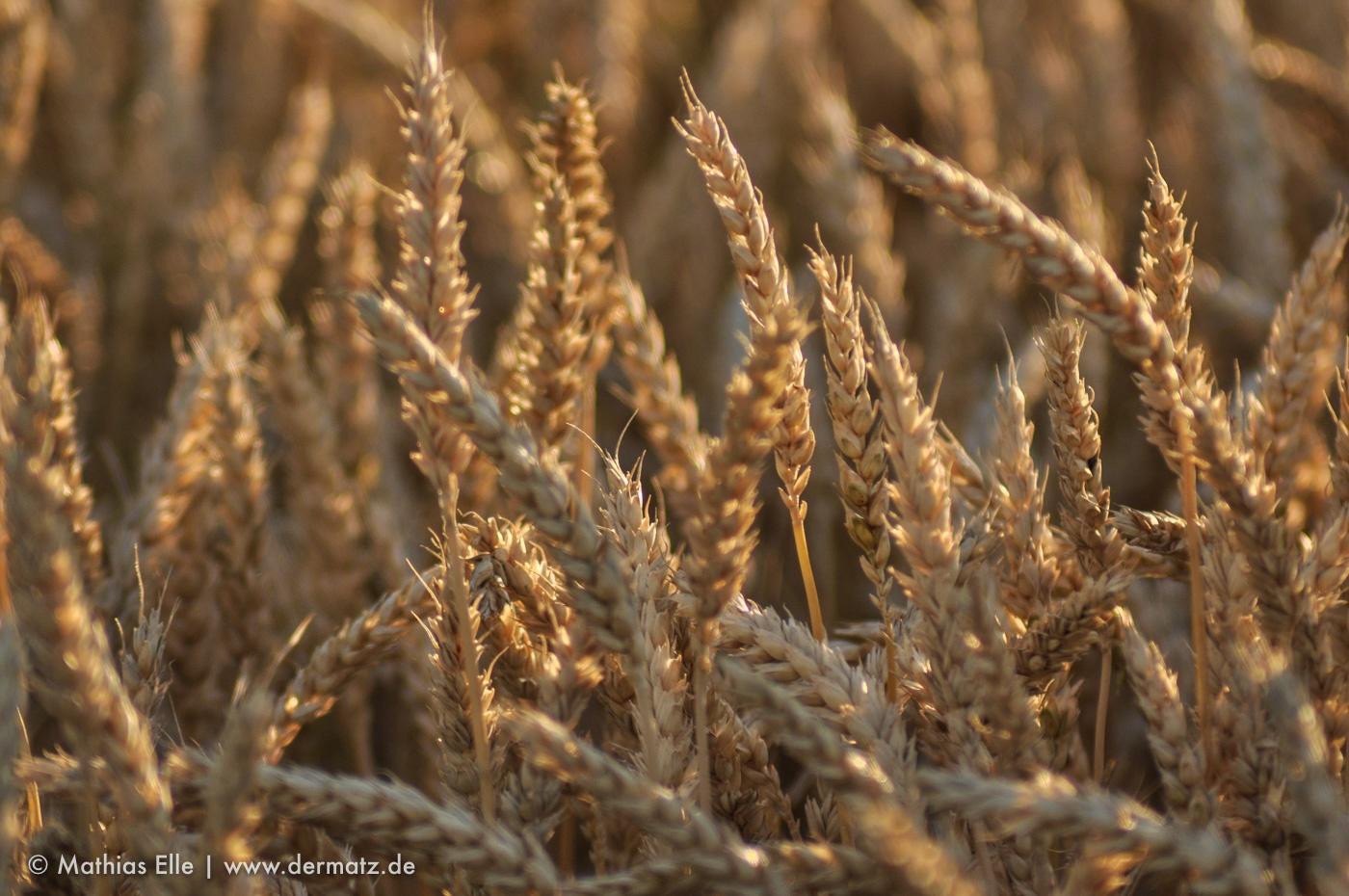 Getreidehalme