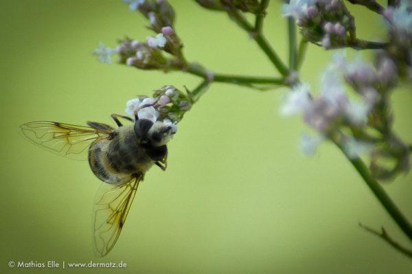 Biene trinkt aus Blüte