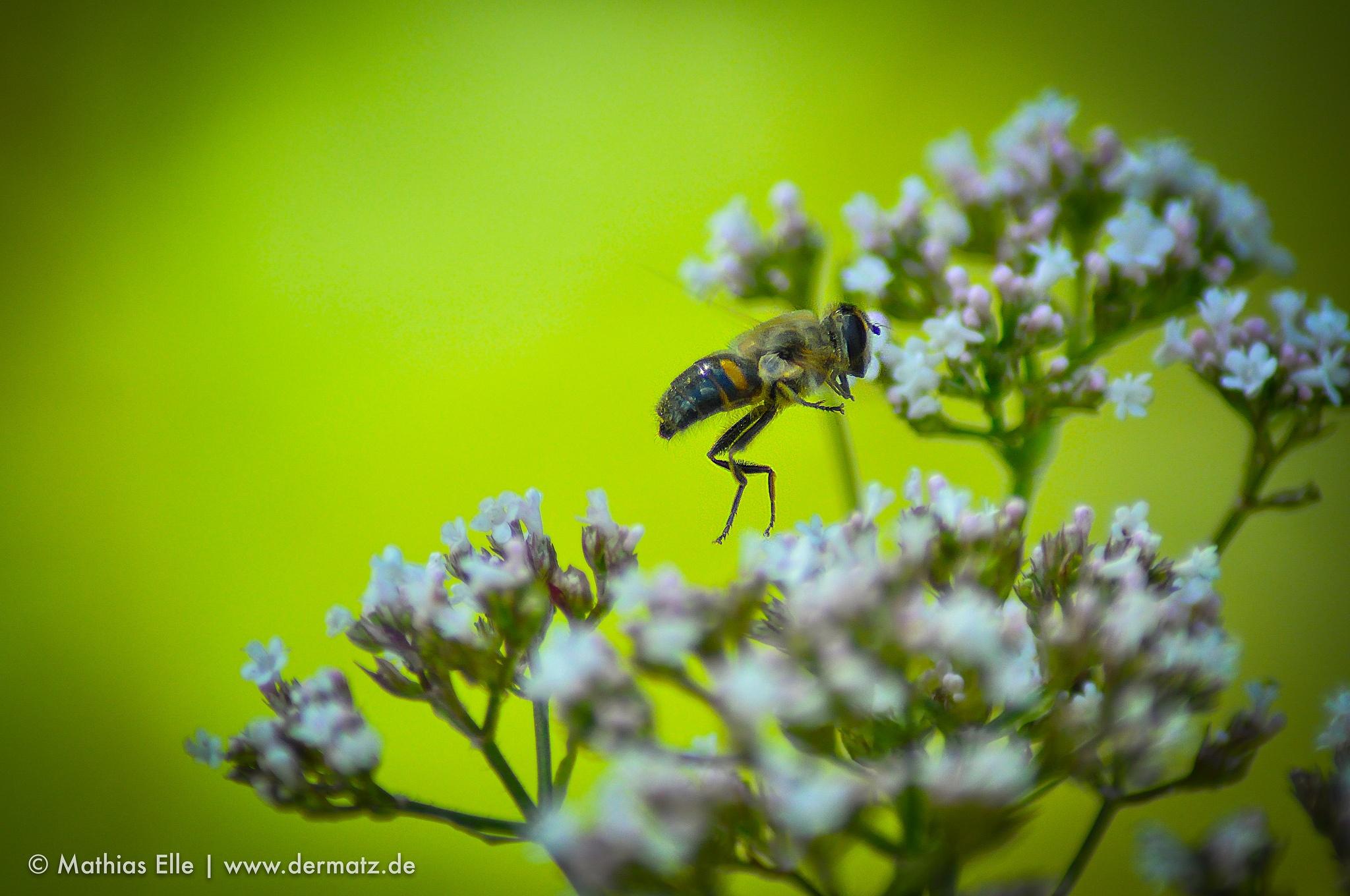 Biene fliegt über Blüten