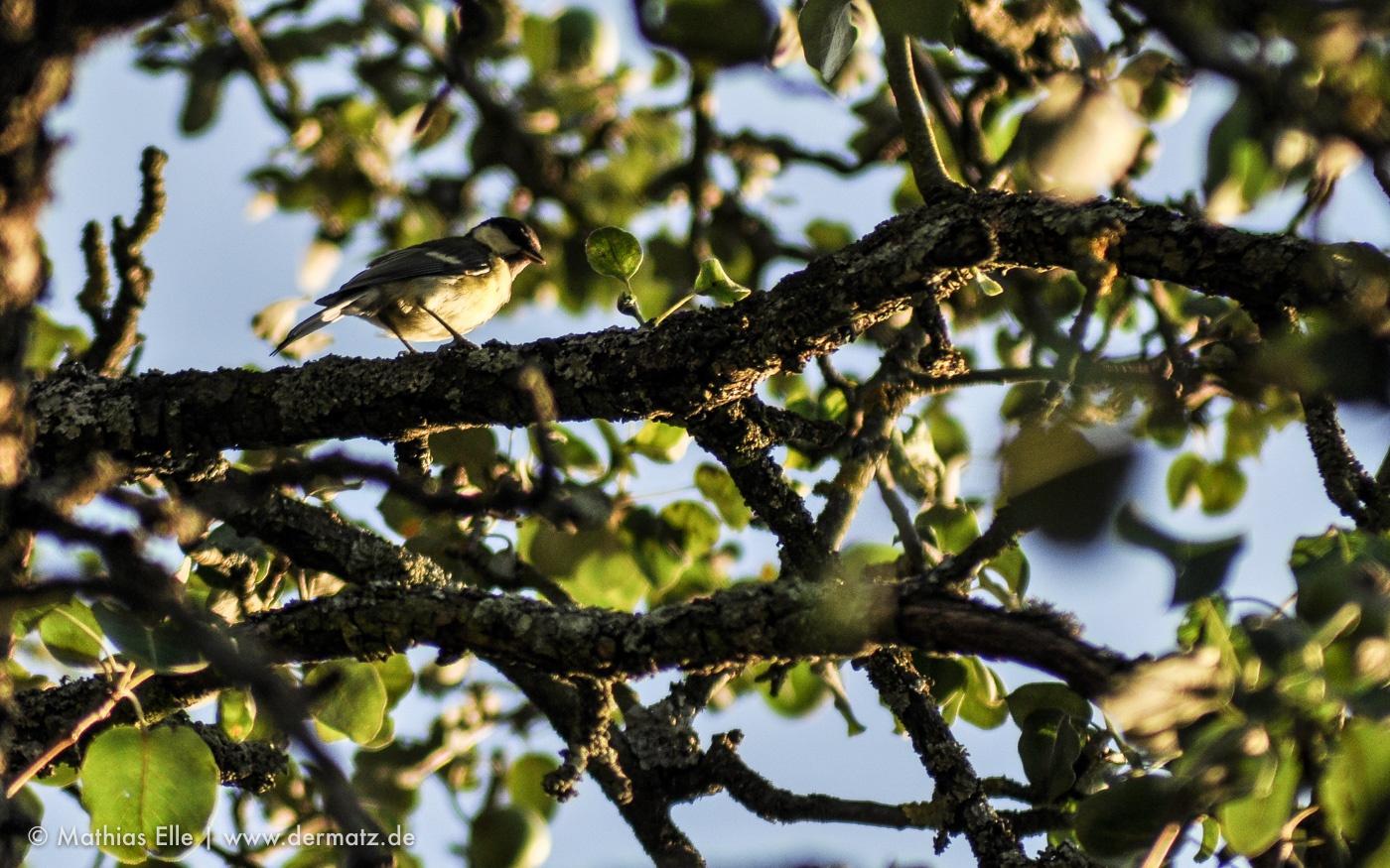 Meise im Apfelbaum