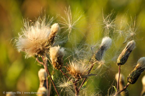 Pflanzenpollen