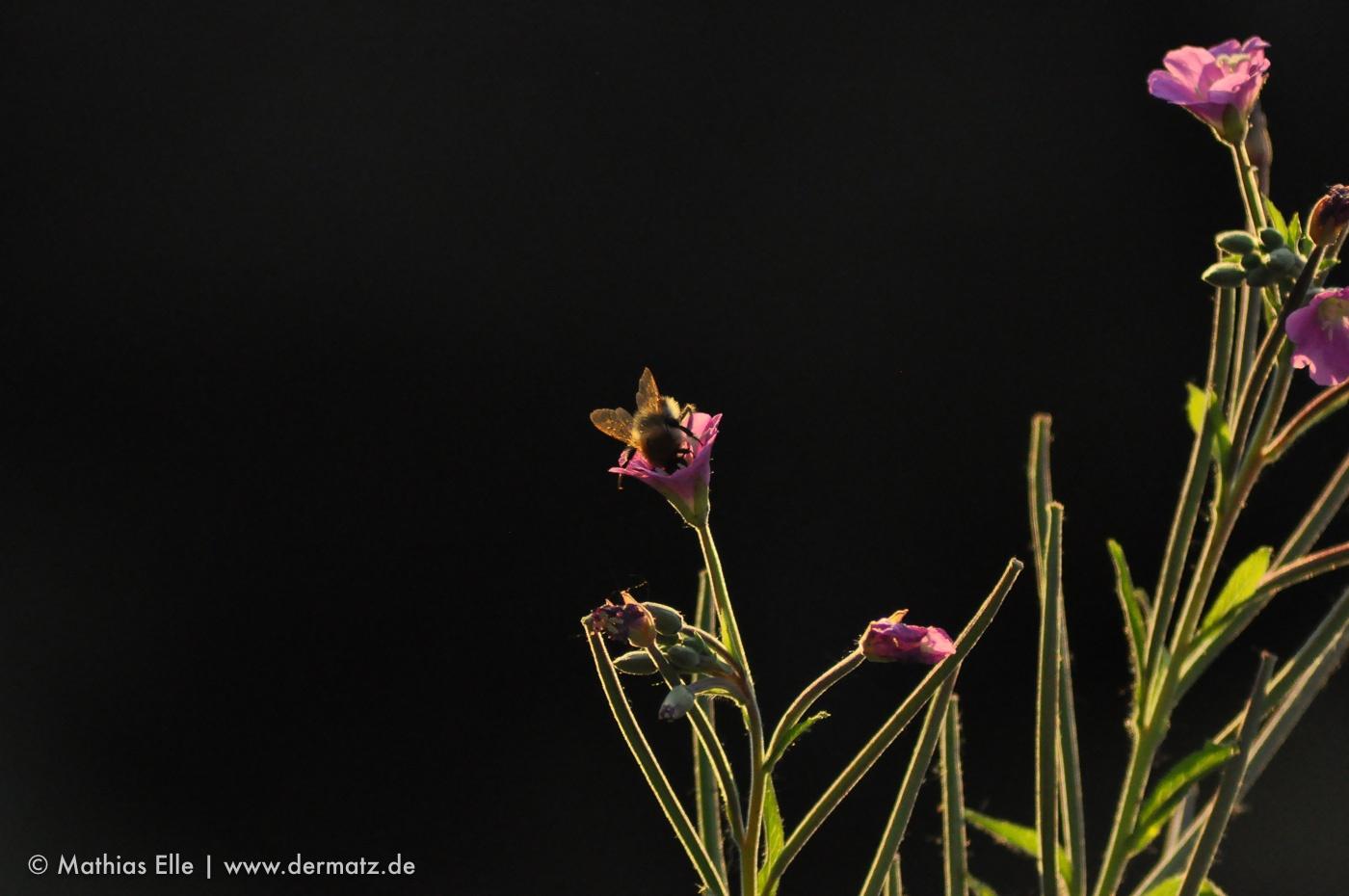 Hummel in Blüte