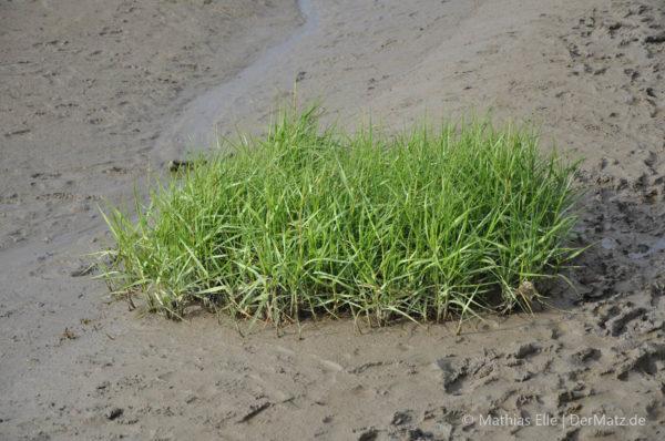 Gras im Watt