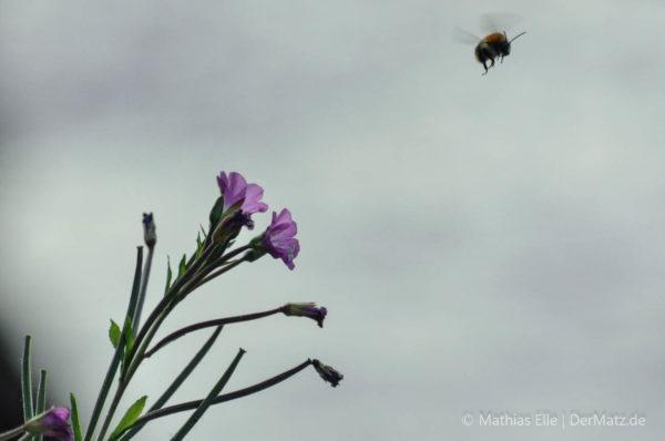 Hummel an Blume